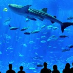 Whale shark in churaumi aquarium